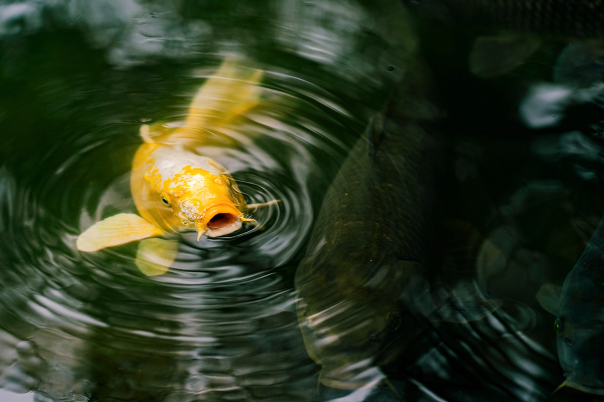 keep your koi happy with a DIY pond cover